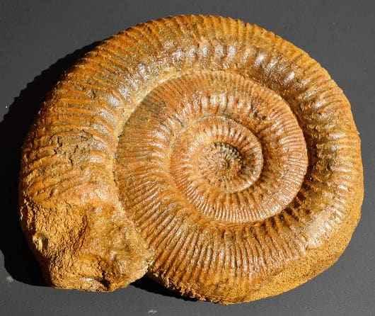Peter Borer Ammonit Ausstellungsstück 4