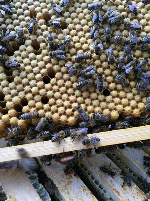 Dronenwabe aus einem Bienenstock